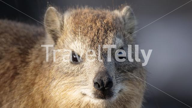 Extreme Close up from a Rock hyrax in South Africa