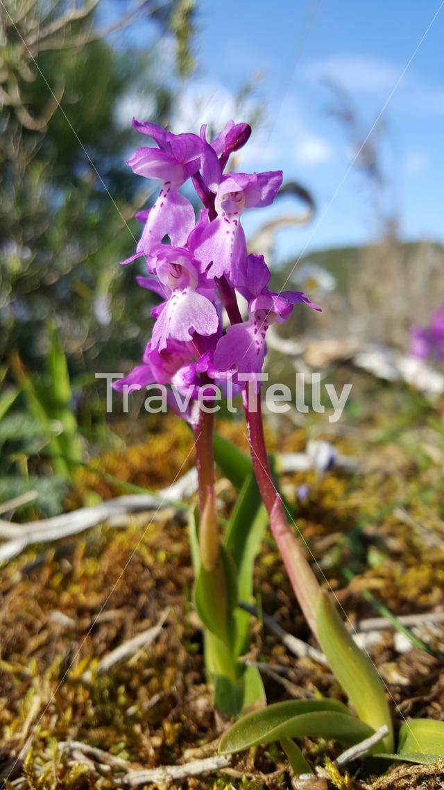 Purple Moth orchids in Parque Natural de las Sierras de Aire y Candeeiros Portugal
