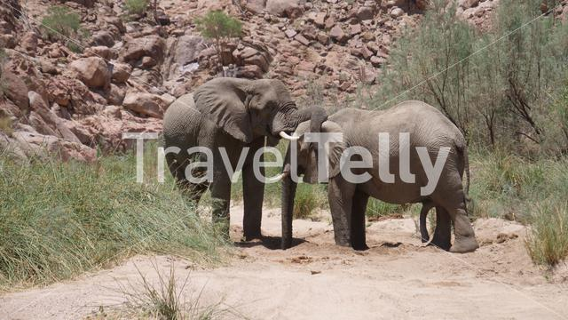Two elephants hug each other with trunks at Hoanib Riverbed in Namibia
