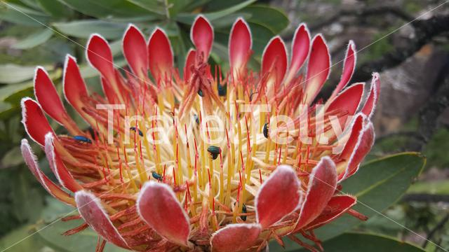 Big flower with insect at Natal Drakensberg National Park in South Africa in South Africa