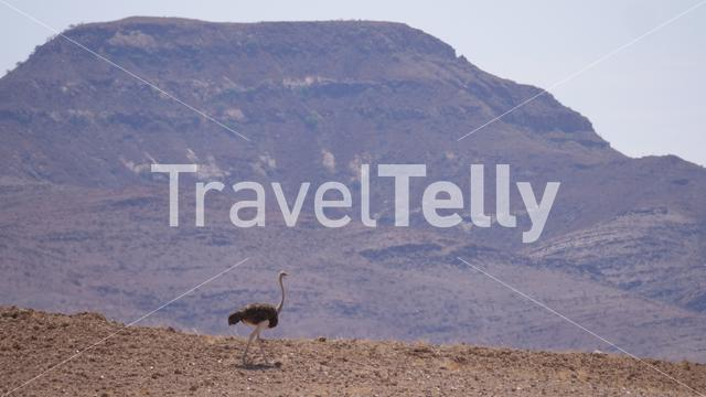 Lonely Ostrich on a dry savanna of Purros in Namibia