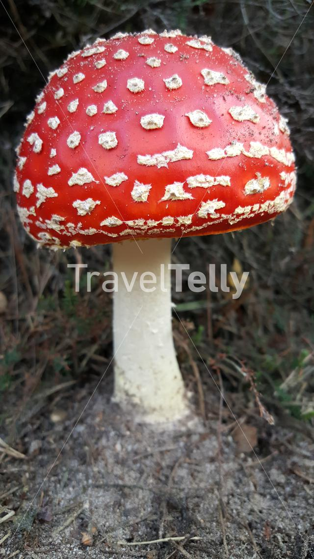 Big red mushroom in Dutch landscape
