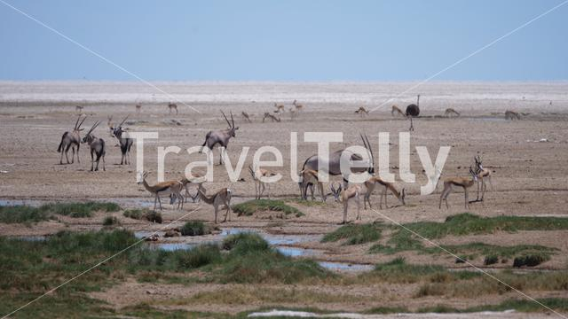 Herd of Gemsbok, antelope and an ostrich on a dry savanna in Etosha National Park, Namibia