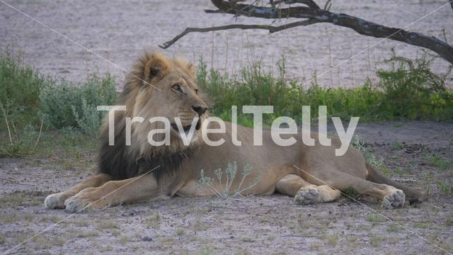 Male lion resting at the savanna of Central Kalahari Game Reserve, Botswana
