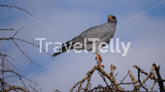 Pale chanting goshawk at Central Kalahari Game Reserve in Botswana