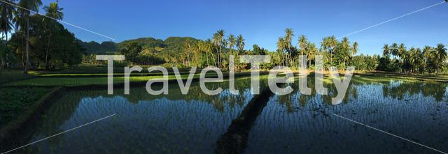 Panorama from the rice field with mountain and palmtrees reflection in Anda Bohol the Philippines
