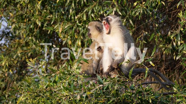 Vervet monkey yawning in a tree at Waterberg National Park South Africa