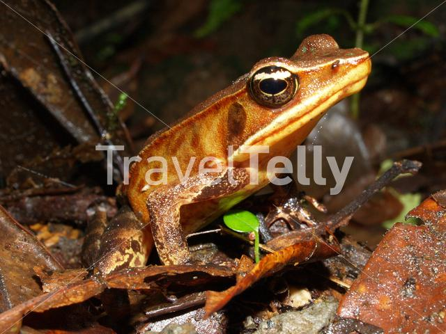 Brilliant forest frog in Cerro Chato Costa Rica