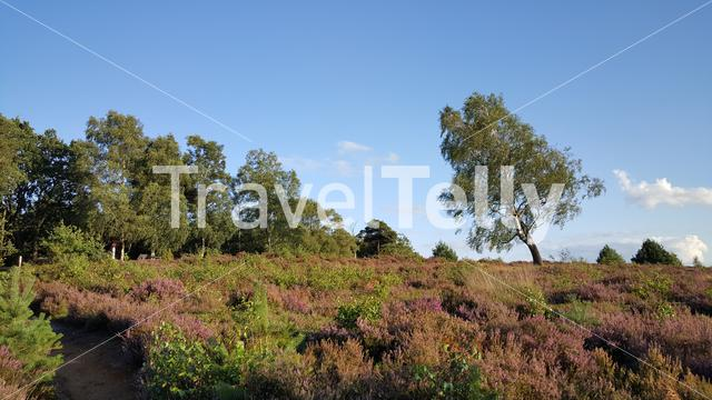 Purple heath at National Park in Netherlands