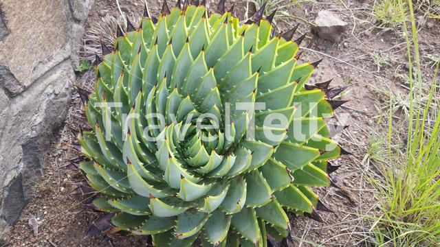 Cactus at Bokong Nature Reserve in Lesotho