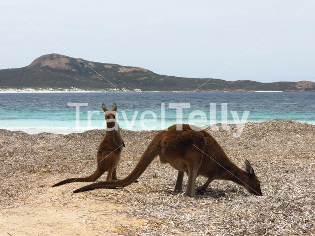 Mother and baby kangaroo at Lucky Bay beach in Cape Le Grand National Park Australia