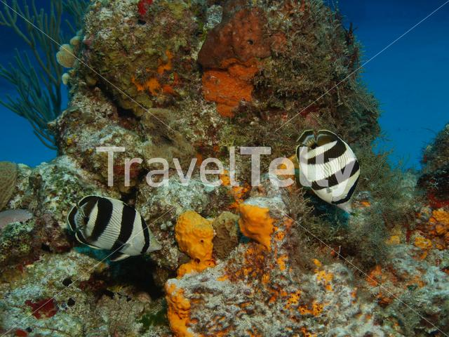 Butterflyfish in the Mesoamerican Reef Mexico