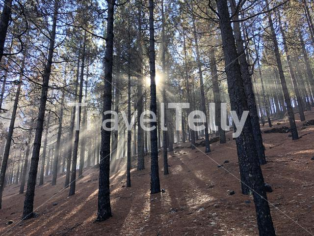 The sun rays through the forest on Gran Canaria