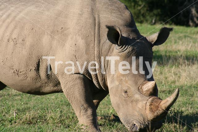 Close up from a rhino on the savanna in South Africa