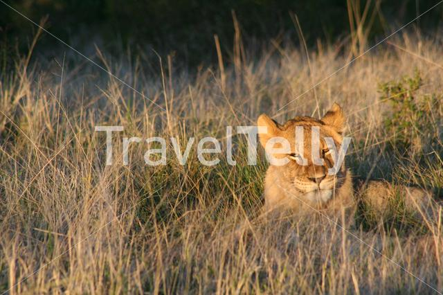 Lion laying in the grass