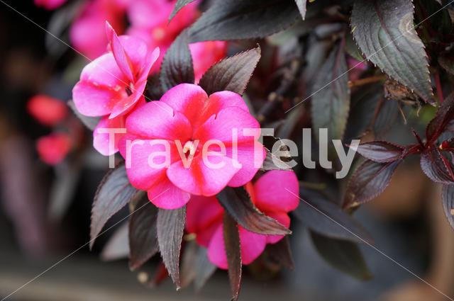 Impatiens Hawkery, one of the varieties of flowers in the Andes of Colombia.