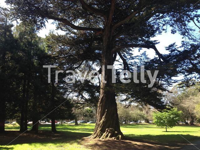 Big tree in the Panhandle park in San Francisco