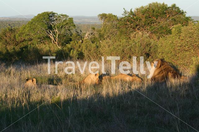 Female and male lions in grassfield South Africa