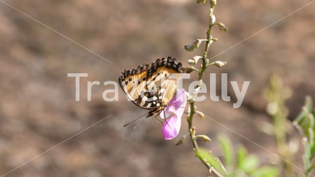 Close up from a butterfly on a flower at Cabo Sardao Portugal