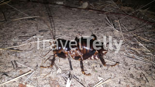 Armoured ground cricket at the Tsodilo hills in Botswana