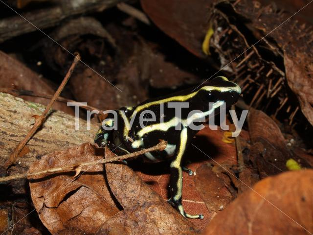 Yellow-striped poison frog in Parque Nacional Natural Tayrona Colombia