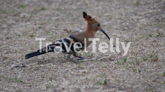 Hoopoes on the ground in Africa