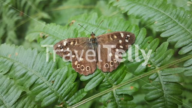 Butterfly on a fernleaf