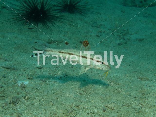 Goatfish in Ko Chang Thailand