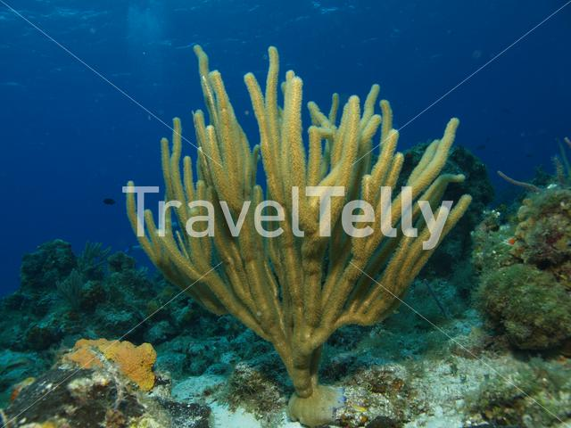 Soft coral in the Mesoamerican Reef Mexico