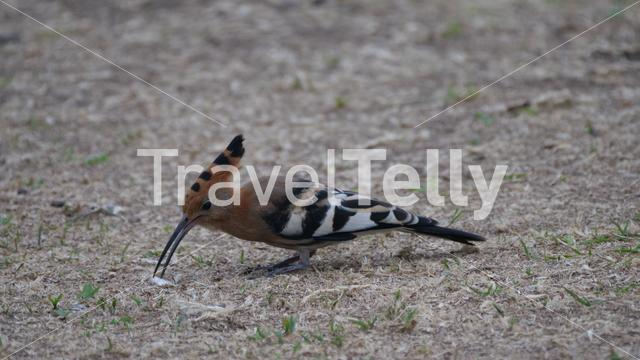 Hoopoes on the ground picking worms
