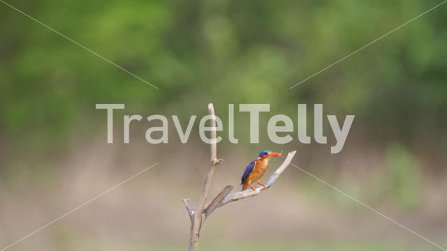 Kingfisher with a fish on a branch in Bao Bolong Wetland Reserve a National park in Gambia, Africa
