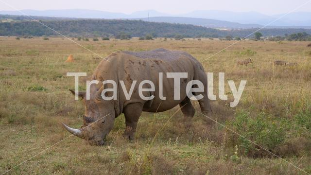 White rhino eating grass in Waterberg South Africa