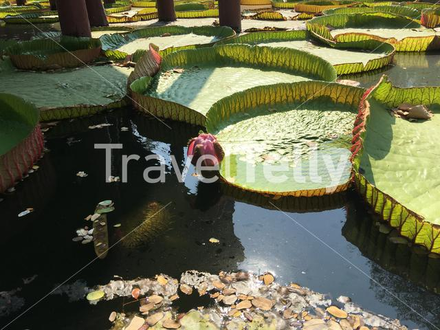 Giant water lily in Ancient Siam Bangkok Thailand