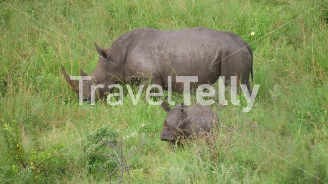 Rhino and her young in Hlane Royal National Park, Swaziland