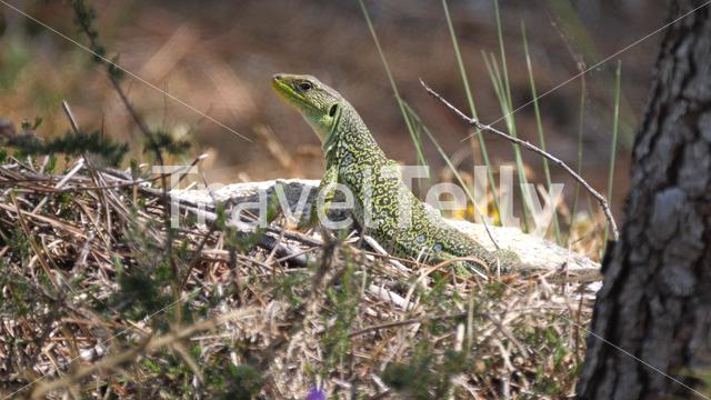 Ocellated lizard on a rock in Sil Canyon Spain