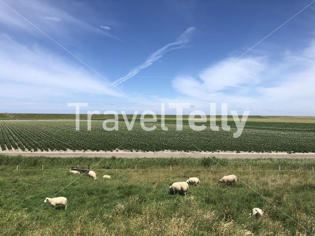 Sheeps in Friesland, The Netherlands