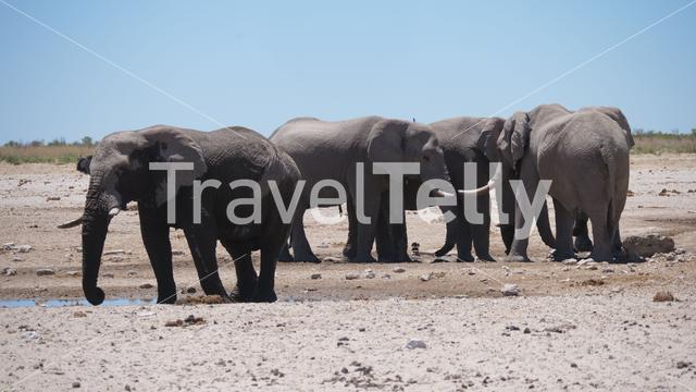 Herd of elephants around an almost dry waterhole in Etosha National Park, Namibia