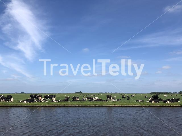 Cows next to a canal around Parrega, The Netherlands