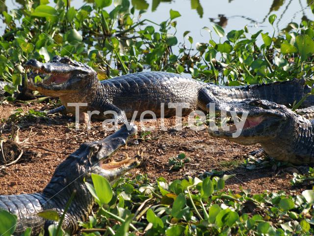 Group of Caimans in the Pantanal, Brazil