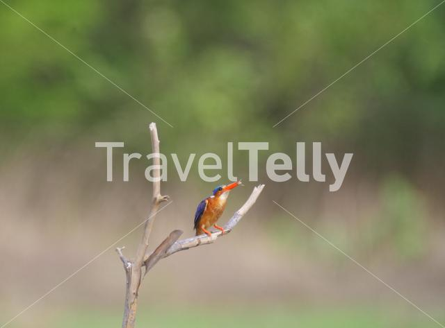 Kingfisher eating a insect in Bao Bolong Wetland Reserve The Gambia