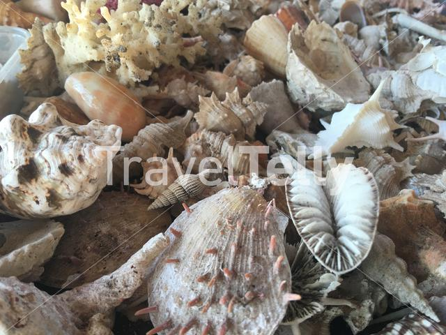 Shells at the beach of Balicasag Island in Bohol the Philippines