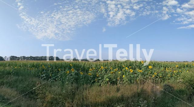 Sunflowers on a hot day around Laren, Gelderland, The Netherlands