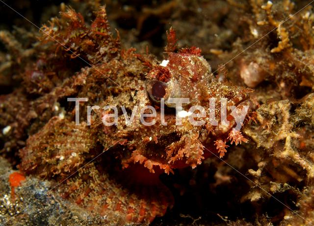 Scorpionfish in Lembeh Sulawesi Indonesia