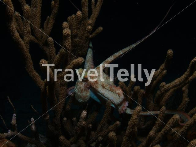 Octopus in soft coral in the Mesoamerican Reef Mexico