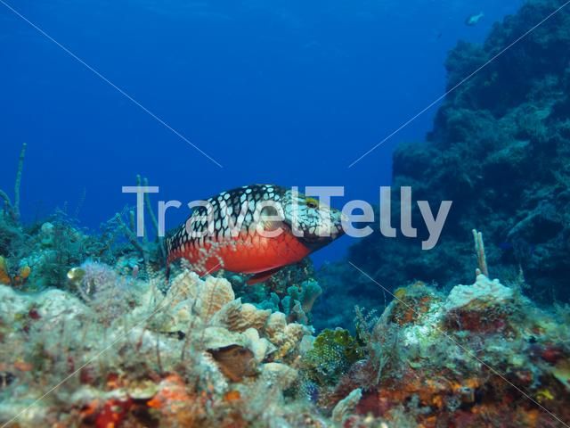 Red bellied parrot fish in the Mesoamerican Reef Mexico