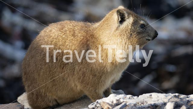 Close up from a Rock hyrax in South Africa