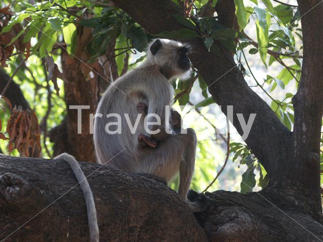 Gray langur monkey with a baby in a tree at Ranthambore National Park India