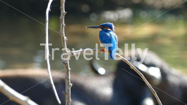 Kingfisher with a water buffalo in the background at Udawalawe national Park Sri Lanka