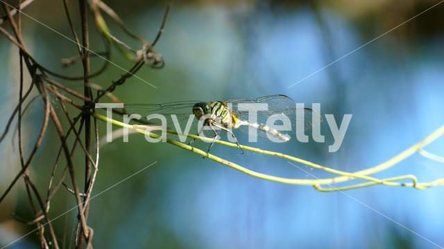 Beautiful dragonfly sitting on a branch and flies away at the countryside of the Philippines
