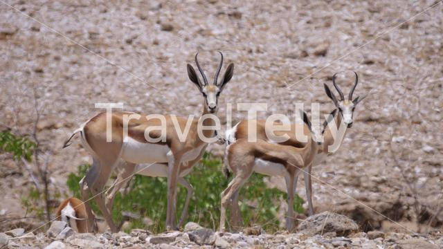 Herd of springbok on a dry savanna around Purros in Namibia